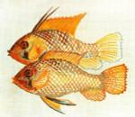 Anne Cram B-52 RamiRezi Fish 14 Mesh