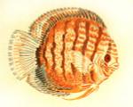 Anne Cram B-53 Discus Fish 18 Mesh