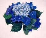 Silver Lining Blue Lacecap Hydrangeas