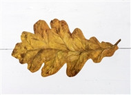 Kitchen Paper - Oak Leaf Accents