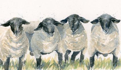 Baa Baa Q, Suffolk sheep by Kay Johns