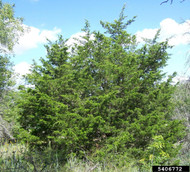 Eastern Redcedar (Containerized)