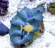 Crocea Clam - Tridacna crocea - Crocea Clam Cultured