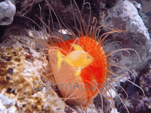 Electric Scallop - Lima species - Electric Eye Flashing Scallop