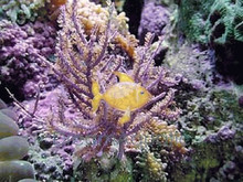 Purple Brush Gorgonia - Gorgonia species - Sea Rod - Sea Whip - Sea Blade
