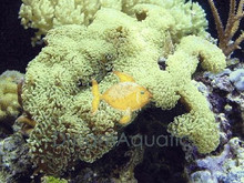 Anchor Coral - Euphyllia ancora - Ridge Anchor - Hammerhead - Anchor Coral - Hammer Coral - Wall Coral