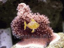 Blue Ridge Coral - Heliopora coerulea - Blue Fire Coral