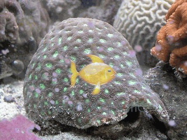 Brain Coral - Favites species - Brain Coral Closed Pinapple - Closed Brain - Honeycomb Coral