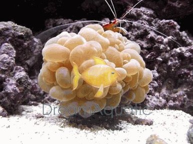 Bubble Coral - Plerogyra species - Grape Bubble Coral - Grape Coral - Octobubble Coral