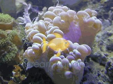 Bubble Plerogyra Coral - Plerogyra species - Bubble Coral - Octobubble Coral