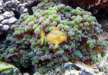 Frogspawn Assorted Branching - Euphyllia divisa - Honey Coral Wall - Frogspawn Coral - Grape Coral - Octopus Coral