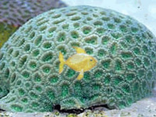 Moonstone Coral - Green Favia Brain - Favia species - Brain Coral Closed Green Moonstone - Modern Coral - Moon Coral