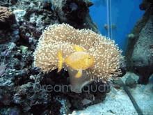 Toadstool Leather - Sarcophyton species - Mushroom Sarcophyton Leather - Elegant Umbrella Leather Coral - Mushroom Leather Coral