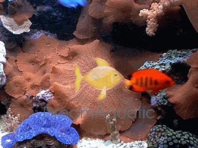Red Mushrooms - Actinodiscus species - Disc Anemones - Flower Corals - Mushroom Anemones
