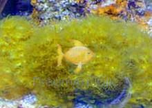 Yellow Polyp - Parazoanthus species - Yellow Colony Polyp - Bali Polyps - Ballet Dancer Polyps - Yellow Encrusting Anemones