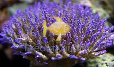Acropora Coral (Color Tip) - Acropora species