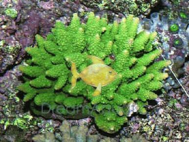 Acropora Coral (Neon Color) - Acropora species