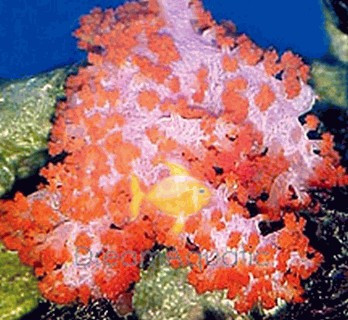 Orange Carnation Coral - Dendronephthya species - Carnation Soft Coral - Christmas Tree Coral - Strawberry Coral - Tree Coral