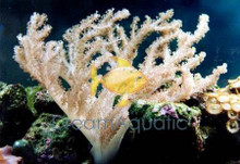 Colt Coral - Cladiella species - Blushing Coral - Soft Finger Leather - Colt Soft Coral
