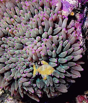 Invertebrate Anemones Dreamaquatic Com