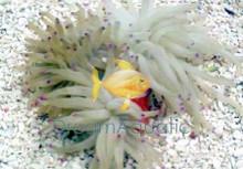 Reef Haitian Anemone - Condylactis species - Condy Anemone - Atlantic Anemone - Haitian Anemone