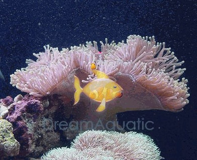 Ritteri Anemone - Heteractis magnifica - Sea Anemone - Bulb-Tip Anemome - Maroon Anemone - Yellow Tipped Long Tentacle Anemone