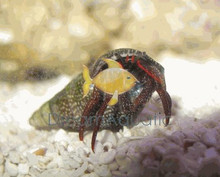 Mexican Red Leg Hermit Crab - Coenobita species - Dwarf Red Tip Hermit