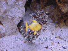 Feather Duster - Hawaiian - Sabella species