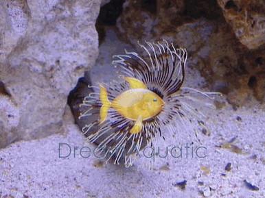 Feather Duster - Hawaiian - Sabella species