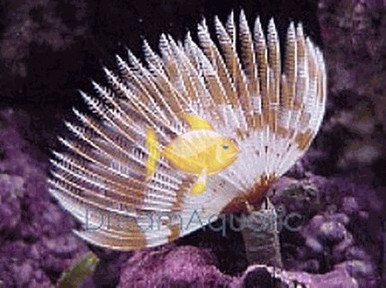 Yellow and White Feather Duster - Sabella species