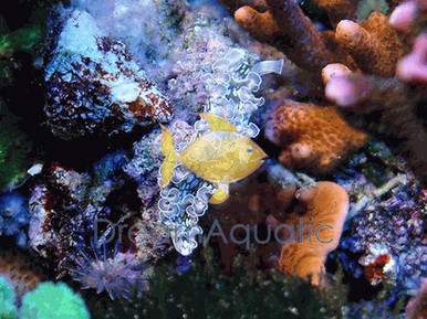 Purple Lettuce Nudibranch - Bryopsis - Eating Nudibranch - Tridachia crispata - Lettuce Sea Slug
