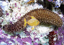Black Cucumber - Holothuria atra - Black Sea Cucumber