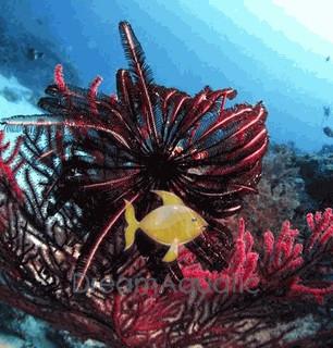 Feather Sea Star - Himerometra species - Crinoid Feather Sea Star