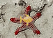 African Red-Knob Sea Star - Protoreaster lincki - Red Knob