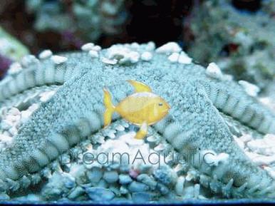 Sand Sifting Sea Star - Astropecten polycanthus - Sand Sifting Starfish