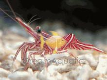 Camel Shrimp - Rhynchocinetes uritai - Camelback Shrimp