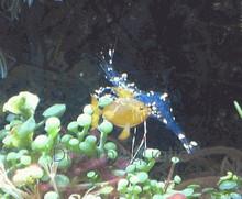 Glass Anemone Shrimp - Periclimenes brevicarpalis - Pacific Clown Anemone Shrimp