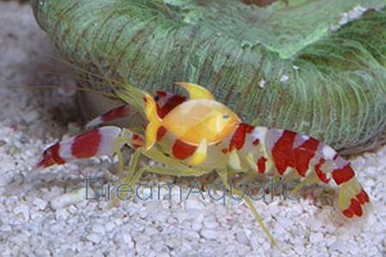 Randall's Pistol Shrimp - Alpheus randalli - Candy Stripe Shrimp - Red Banded Pistol - Candy Pistol