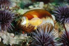 Knobby Black Cowrie - Cypraea talpa - Cowrie Eggshell