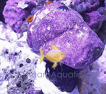 Margarita Snail - Margarites pupillus - Stomatella Limpet Snail