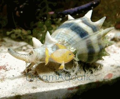 Queen Conch - Strombus gigas