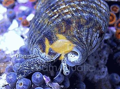 Tonga Fighting Conch - Nassarius species - Nassarius Snails