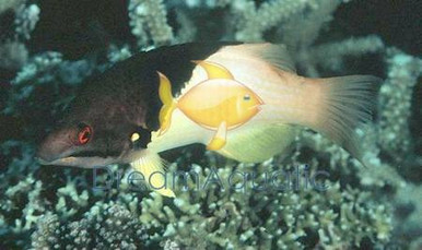 Coral Hogfish - Bodianus mesothorax - Eclipse Hogfish - Mesothorax Hog Fish