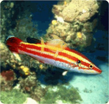 Masuda's Hogfish - Bodianus masudai - Peppermint Hog, Masudai Hogfish