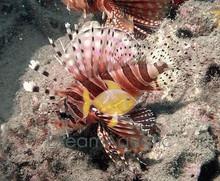 Dwarf Zebra Lionfish - Dendrochirus zebra - Zebra Lionfish - Dwarf Lion Fish