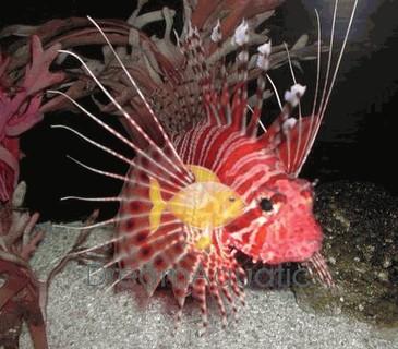 Radiata Lionfish - Pterois radiata - Radiata Lion Fish