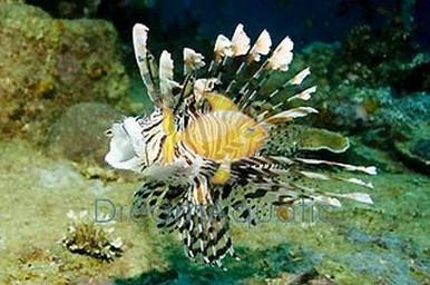 Volitan Common Lionfish - Pterois lunulata - Luna Lion - Turkeyfish - Butterfly Cod - Devilfish - Black Volitan Lion Fish