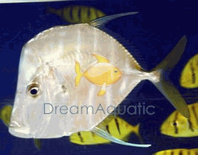 Giant Lookdown Fish - Selene vomer - Threadfin Lookdown - Moonfish - Atlantic Lookdown - Bluntnose - Jorabado