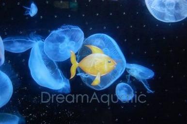 Moon Jellyfish - Jellies - Sea Jellies - Medusozoa