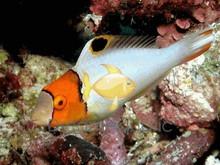 Bicolor Parrotfish - Cetoscarus bicolor - Bicolor Parrot Fish